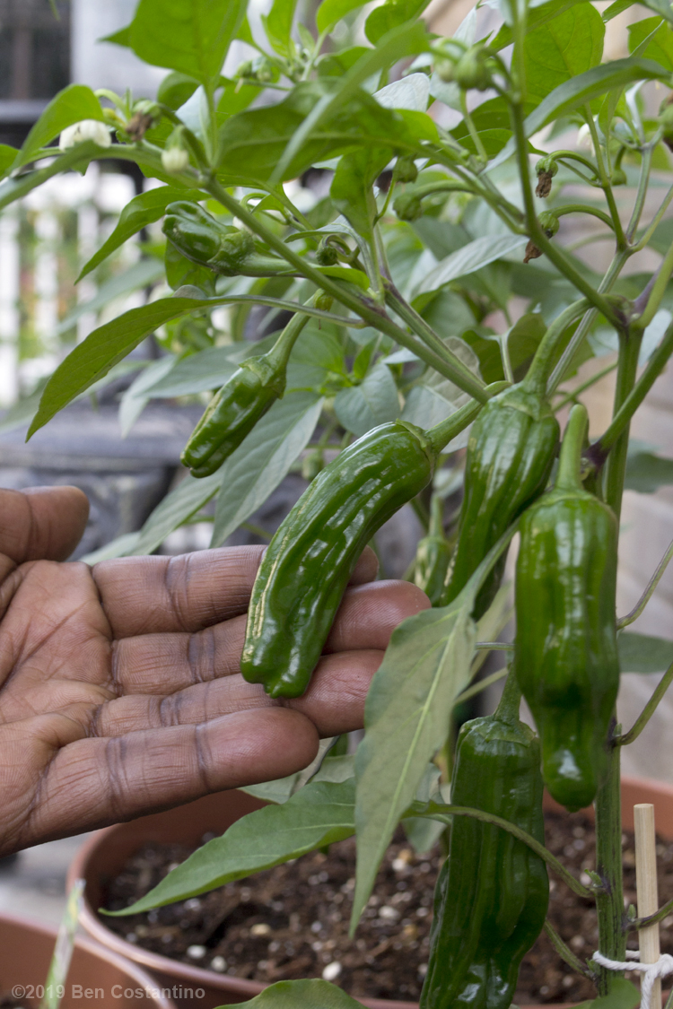 Urban gardening in Astoria Queens growing Shishito peppers